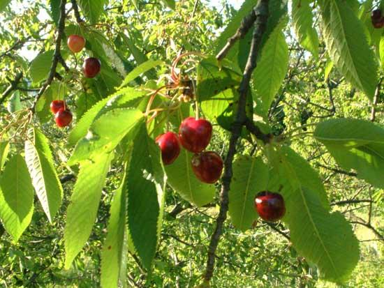 Antichi sapori dei frutti dimenticati for Pianta di ciliegio