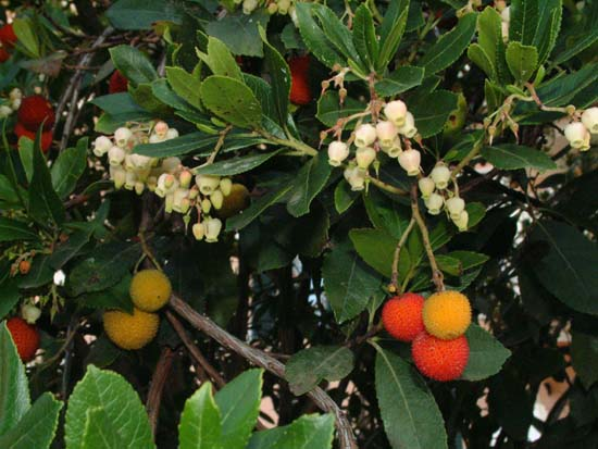 Antichi sapori dei frutti dimenticati for Bacche rosse nomi