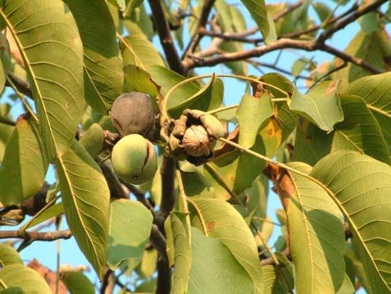 Antichi sapori dei frutti dimenticati for Pianta di noci